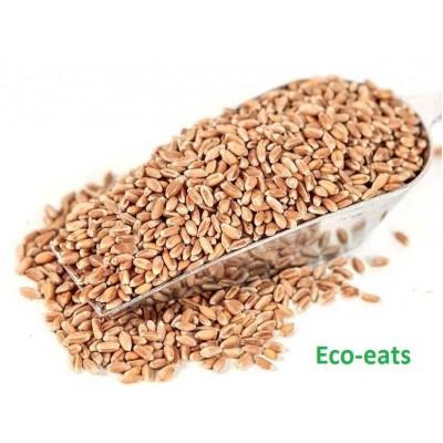 Семена пшеницы для проращивания - фото, изображение